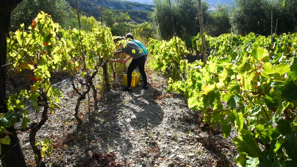 Video still: side by side picking grapes